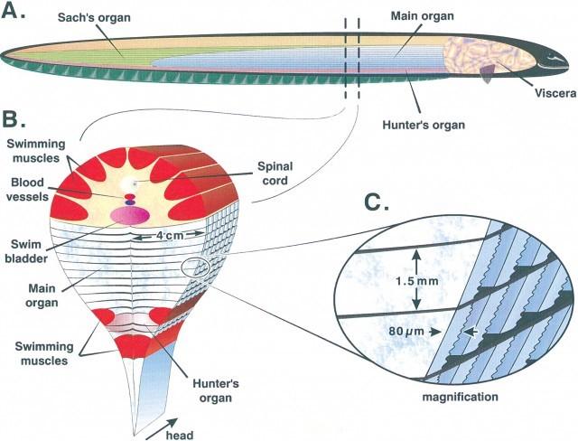 Cấu tạo cá chình điện